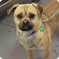Adopt A Pet :: Colt - Reno, NV