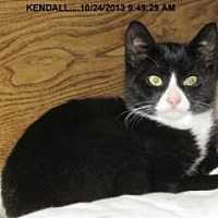 Domestic Shorthair Cat for adoption in Brainardsville, New York - Kendall