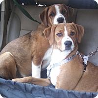 Adopt A Pet :: Boxer Mix Pup - Babe - Midlothian, VA