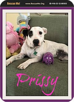 Great Dane/Catahoula Leopard Dog Mix Dog for adoption in bullard, Texas - Prissy