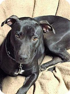 Pit Bull Terrier/Labrador Retriever Mix Dog for adoption in Binghamton, New York - Flynn