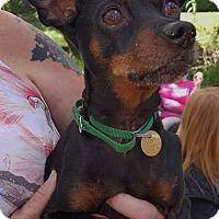 Adopt A Pet :: Harvey - Sacramento, CA
