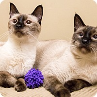Adopt A Pet :: Dove and Sheba - Chicago, IL