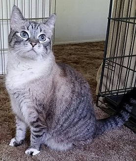 Maine Coon Cat for adoption in Baldwin Park, California - Molly