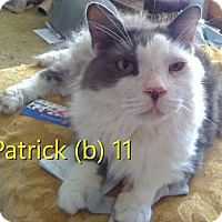 Domestic Longhair Cat for adoption in North Branch, Michigan - Patrick