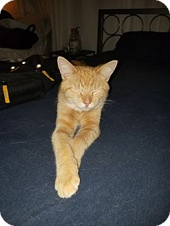 Domestic Shorthair Cat for adoption in Philadelphia, Pennsylvania - Calvin