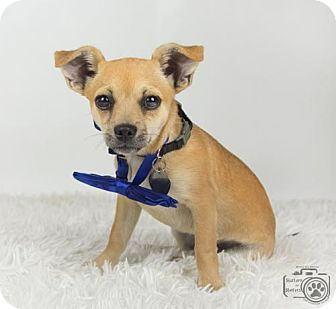 Chihuahua Puppy for adoption in Colorado Springs, Colorado - Louie