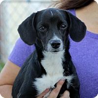 Adopt A Pet :: Tutu - Liberty Center, OH