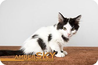 Domestic Shorthair Kitten for adoption in St. Louis, Missouri - Cersei Lannister