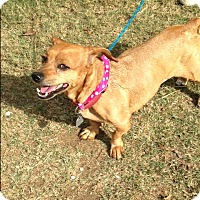 Dachshund/Chihuahua Mix Dog for adoption in Cleveland, Tennessee - LACEY