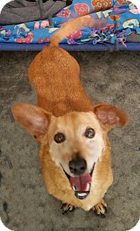 Dachshund Mix Dog for adoption in Urbana, Ohio - Rover