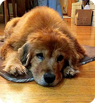 Chow Chow Mix Dog for adoption in Indianapolis, Indiana - Delilah
