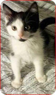 Domestic Shorthair Cat for adoption in Denver, Colorado - Drew
