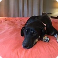 Adopt A Pet :: Sonny Calm, Gentle Shep/Lab Mix in Rowayton, CT - Rowayton, CT