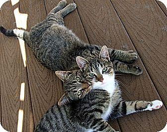 Domestic Shorthair Cat for adoption in Rohrersville, Maryland - Luke Skywalker