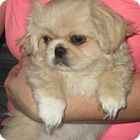Adopt A Pet :: Buffy - Greenville, RI