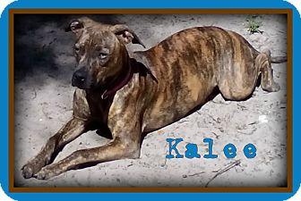 Labrador Retriever/Boxer Mix Dog for adoption in Holiday, Florida - Kalee