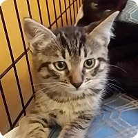 Domestic Shorthair Kitten for adoption in Marrero, Louisiana - Boo  - In Foster