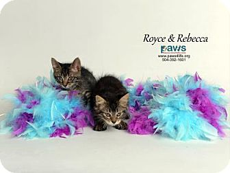 Domestic Shorthair Cat for adoption in Belle Chasse, Louisiana - Royce