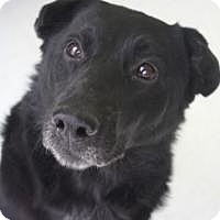 Labrador Retriever/Shar Pei Mix Dog for adoption in Yukon, Oklahoma - Connery