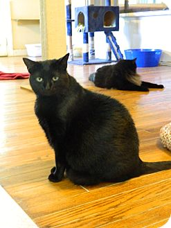 Domestic Mediumhair Cat for adoption in Jupiter, Florida - Sassafrass