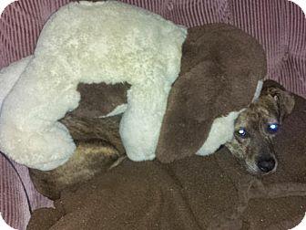 Pointer/Pit Bull Terrier Mix Dog for adoption in Dayton, Ohio - TINKER