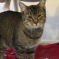 Domestic Shorthair Cat for adoption in Bourbonnais, Illinois - simon