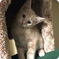 Domestic Shorthair Kitten for adoption in Huntsville, Alabama - Google