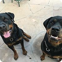 Adopt A Pet :: Brutus - Gilbert, AZ