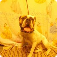 Adopt A Pet :: PRADA - Upper Marlboro, MD