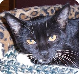 Domestic Mediumhair Cat for adoption in Evergreen, Colorado - Commitment