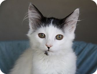Domestic Mediumhair Kitten for adoption in Newport Beach, California - ELIJAH