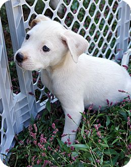 Labrador Retriever/Beagle Mix Puppy for adoption in Newark, Delaware - Sherry