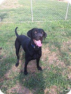 Great Dane Mix Dog for adoption in Jerseyville, Illinois - Charlie