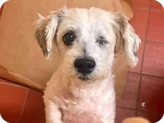 Maltese/Shih Tzu Mix Dog for adoption in Wainscott, New York - MACHO