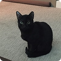 Domestic Shorthair Cat for adoption in Warren, Michigan - Mike