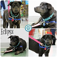 Adopt A Pet :: Eclipse - Kimberton, PA