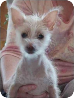 chinese crested terrier charlotte in pennsylvania adopted puppy brecksville 6816