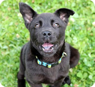 Labrador Retriever Mix Puppy for adoption in Charlemont, Massachusetts - Lacy