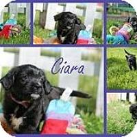 Adopt A Pet :: Ciara - Austin, TX