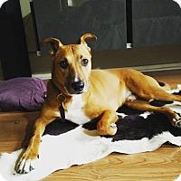 Adopt A Pet :: Paddy - Austin, TX