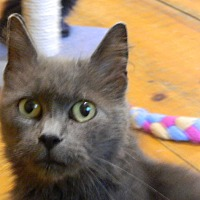 Domestic Mediumhair Cat for adoption in Millerstown, Pennsylvania - MISTY