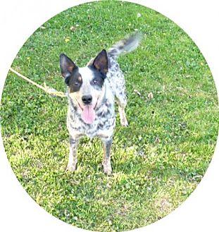 Australian Cattle Dog Dog for adoption in Norwich, New York - Zak -Rescueadopt.com