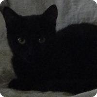 Bombay Cat for adoption in brewerton, New York - Raven