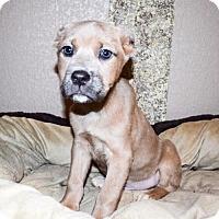 Adopt A Pet :: Truman - Sacramento, CA