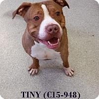 Adopt A Pet :: Tiny - Tiffin, OH