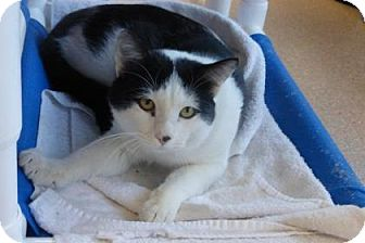 Domestic Shorthair Cat for adoption in Evans, Colorado - Noah