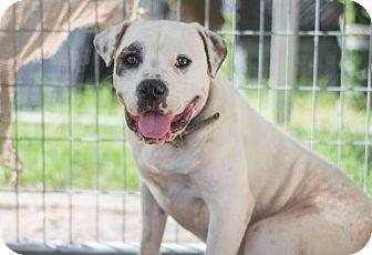 Boxer Dog for adoption in Fresno, California - Rikki