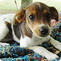Adopt A Pet :: Jazz - Staunton, VA