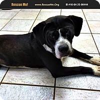 Adopt A Pet :: Rocco Rue - Phoenix, AZ